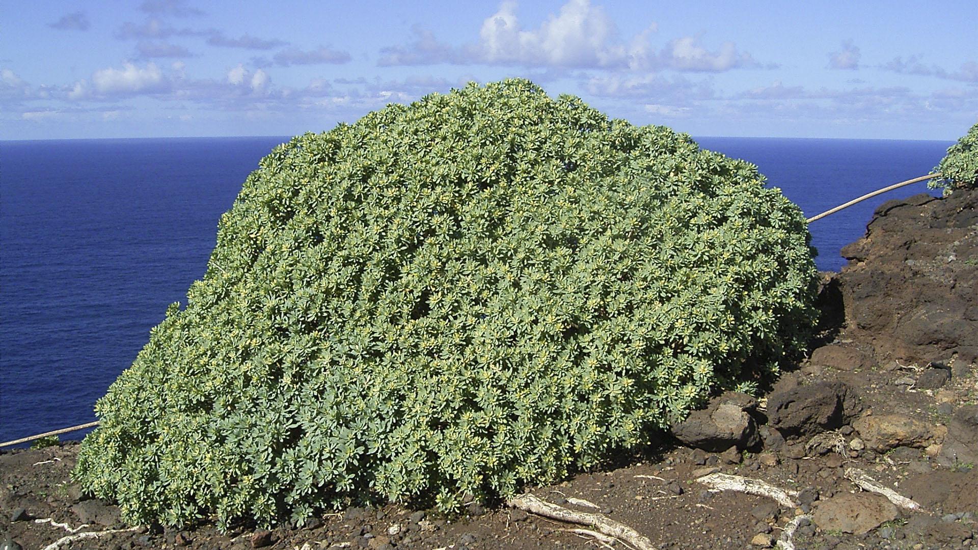 Basale Zone – Tabaiba dulce – Balsam Wolfsmilch –Euphorbia balsamifera.