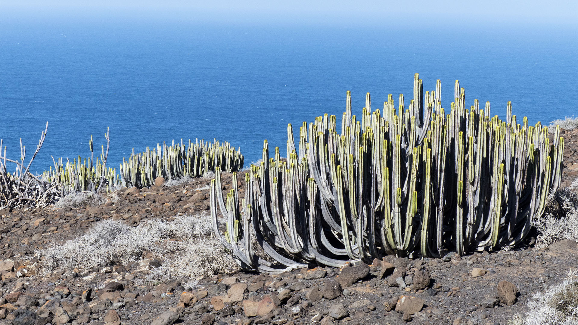 Basale Zone – Kanarischer Cardon oder Kandelaberwolfsmilch –Cardon –Euphorbia canariensis.