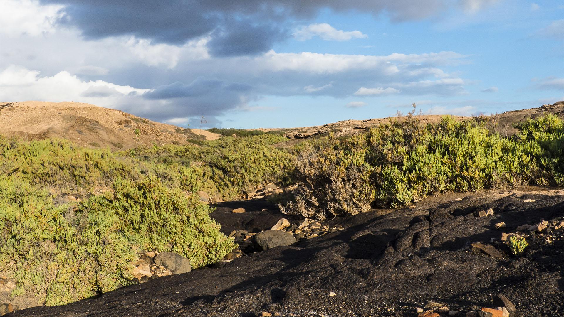 Basale Zone – Fuchsschwanz Sarcocornia.