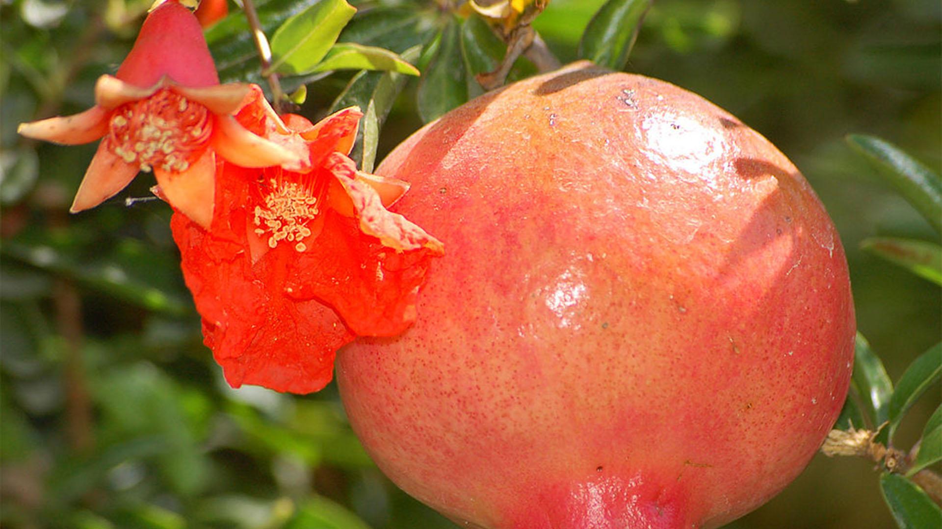 Basale Zone –Granatapfel – Punica granatum.