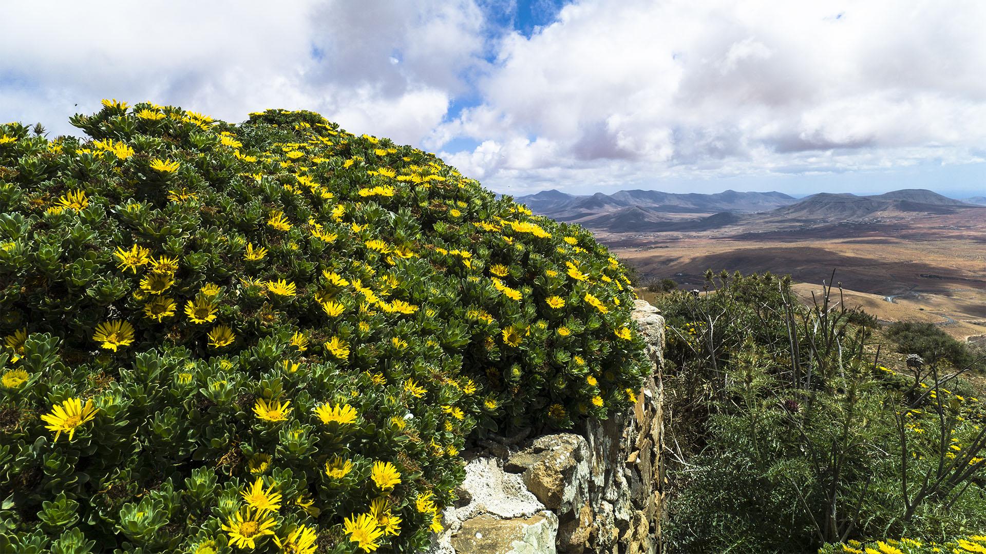 Termophyle Zone –Magarita famara –Argyranthemum maderense.