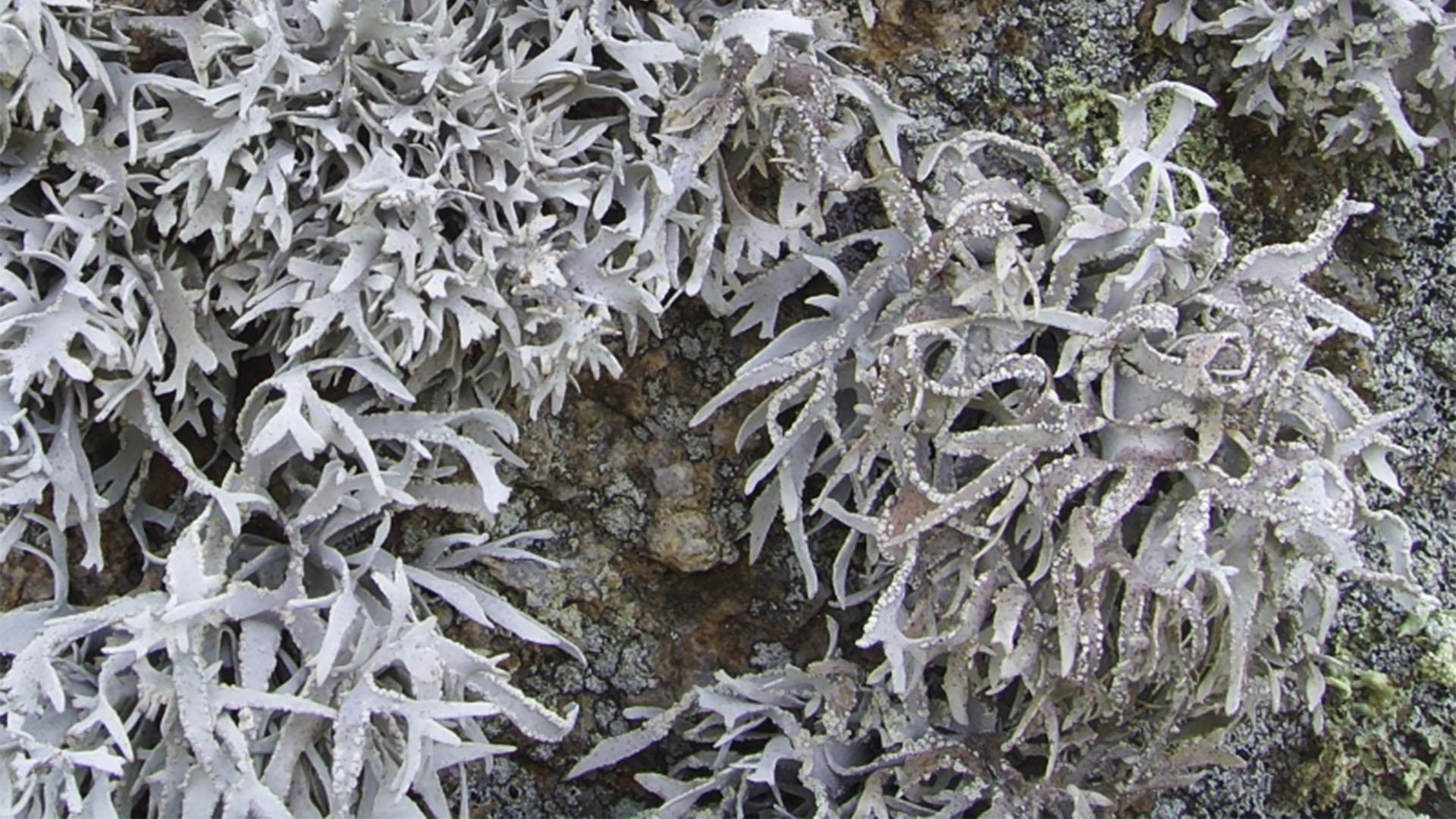 Basale Zone – Orseille – Roccella fuciformis.