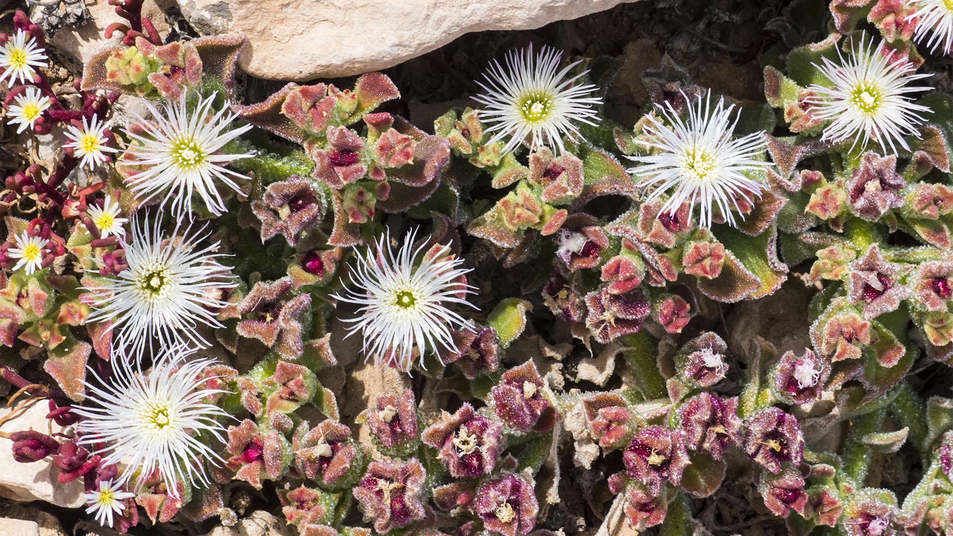 Basale Zone - Rotes Eiskraut – Mesembryanthemum crystallinum.