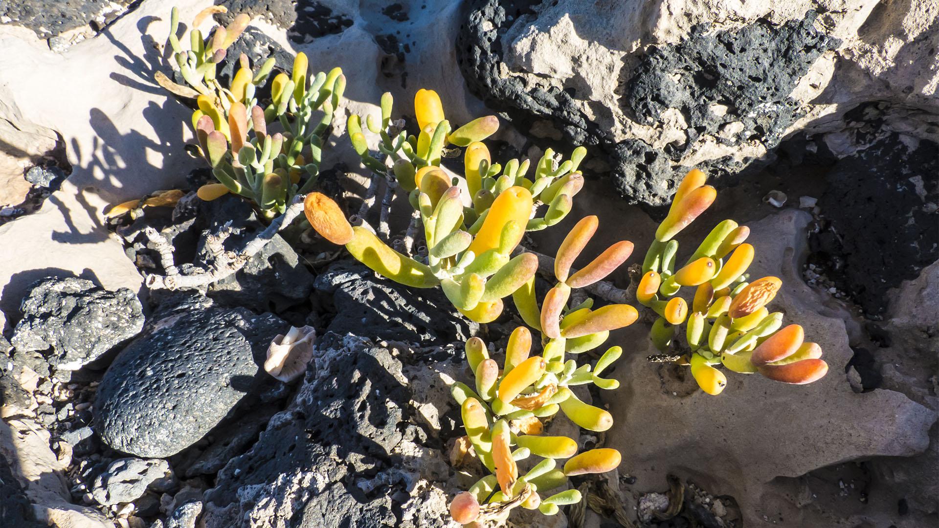 Basale Zone –Uva de mar oder Zygophyllum.