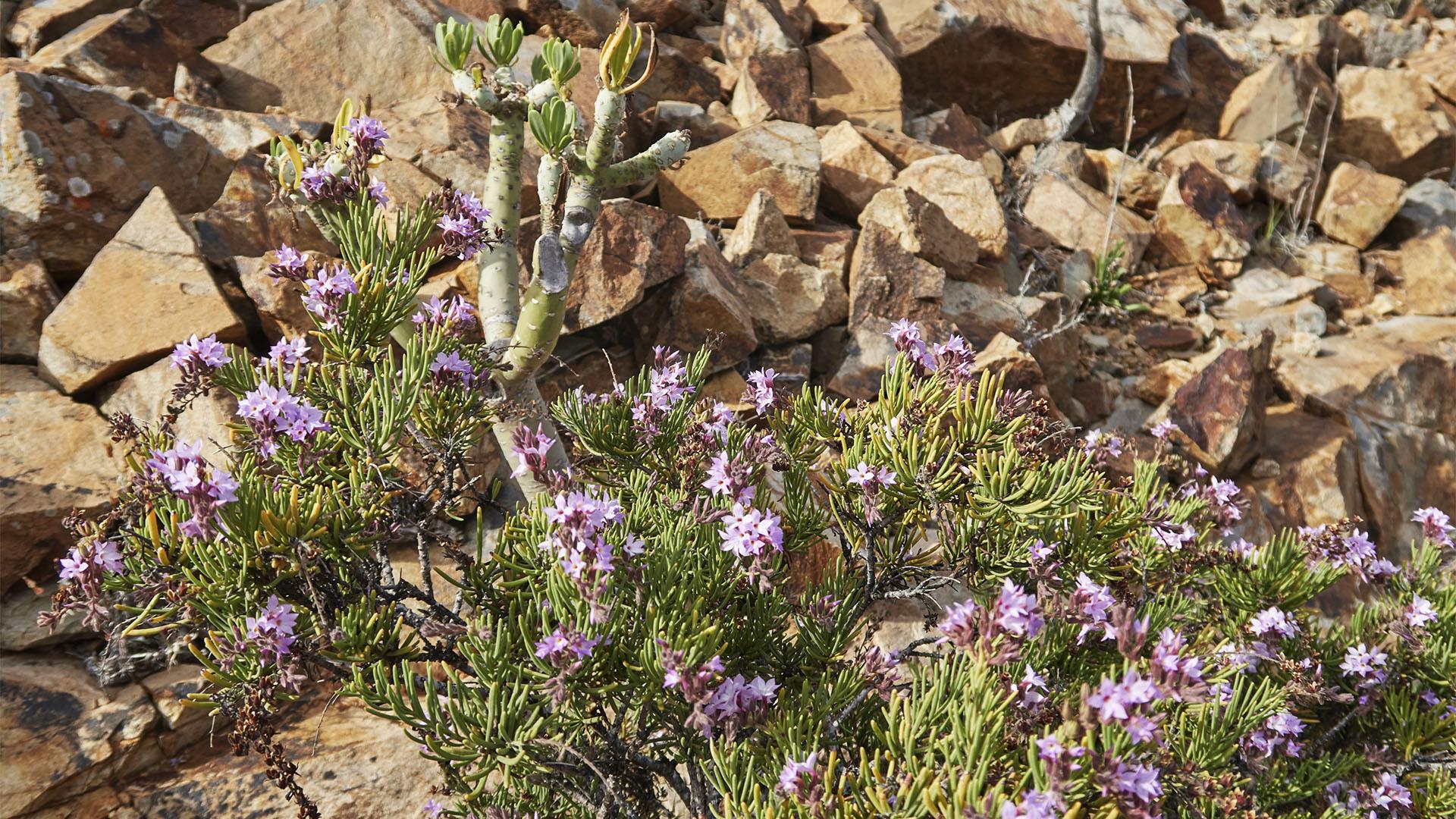 Flora der Termophyle auf Fuerteventura.