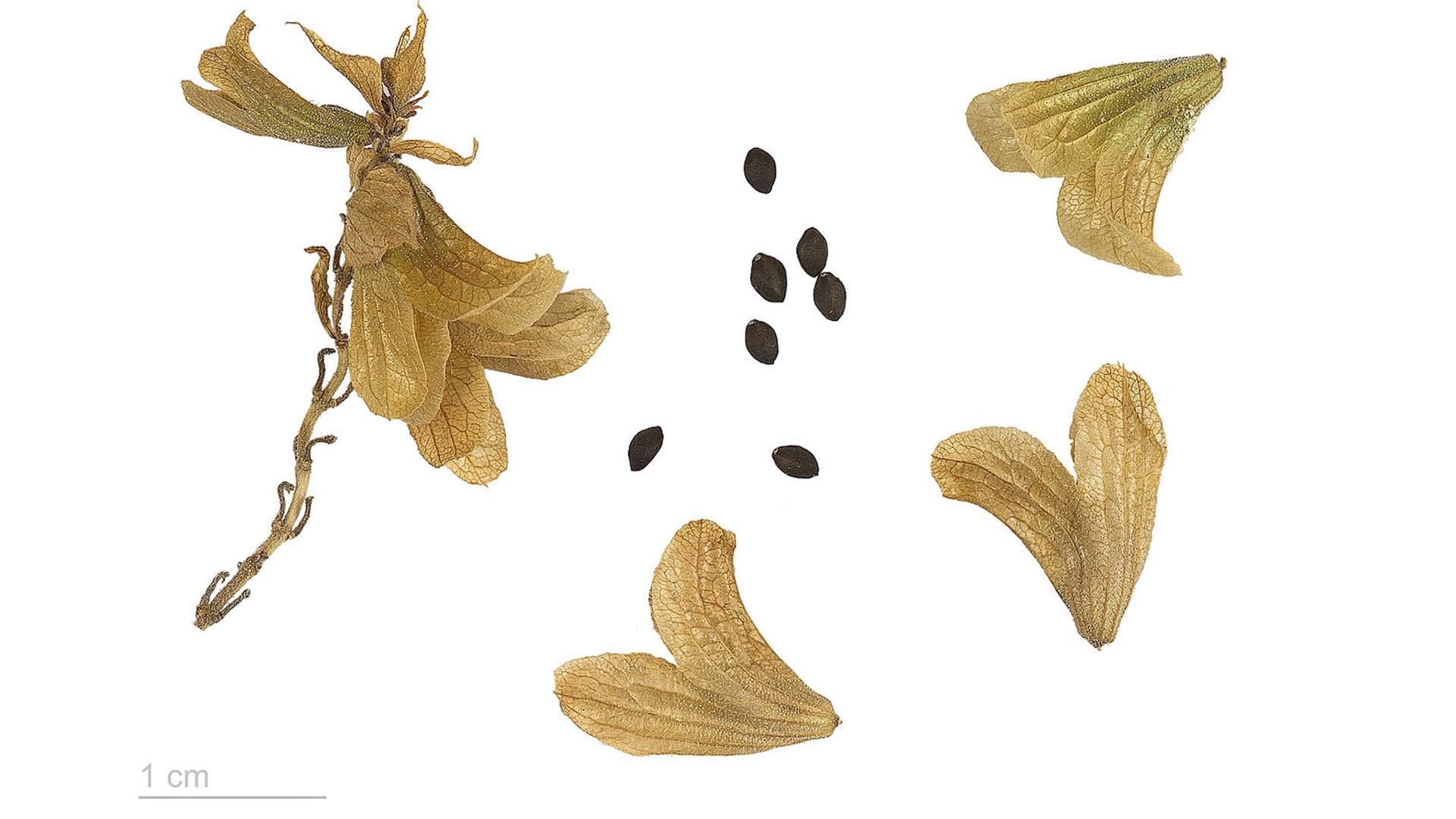 Termophyle Zone –Kanaren Salbei –Salvia canariensis.