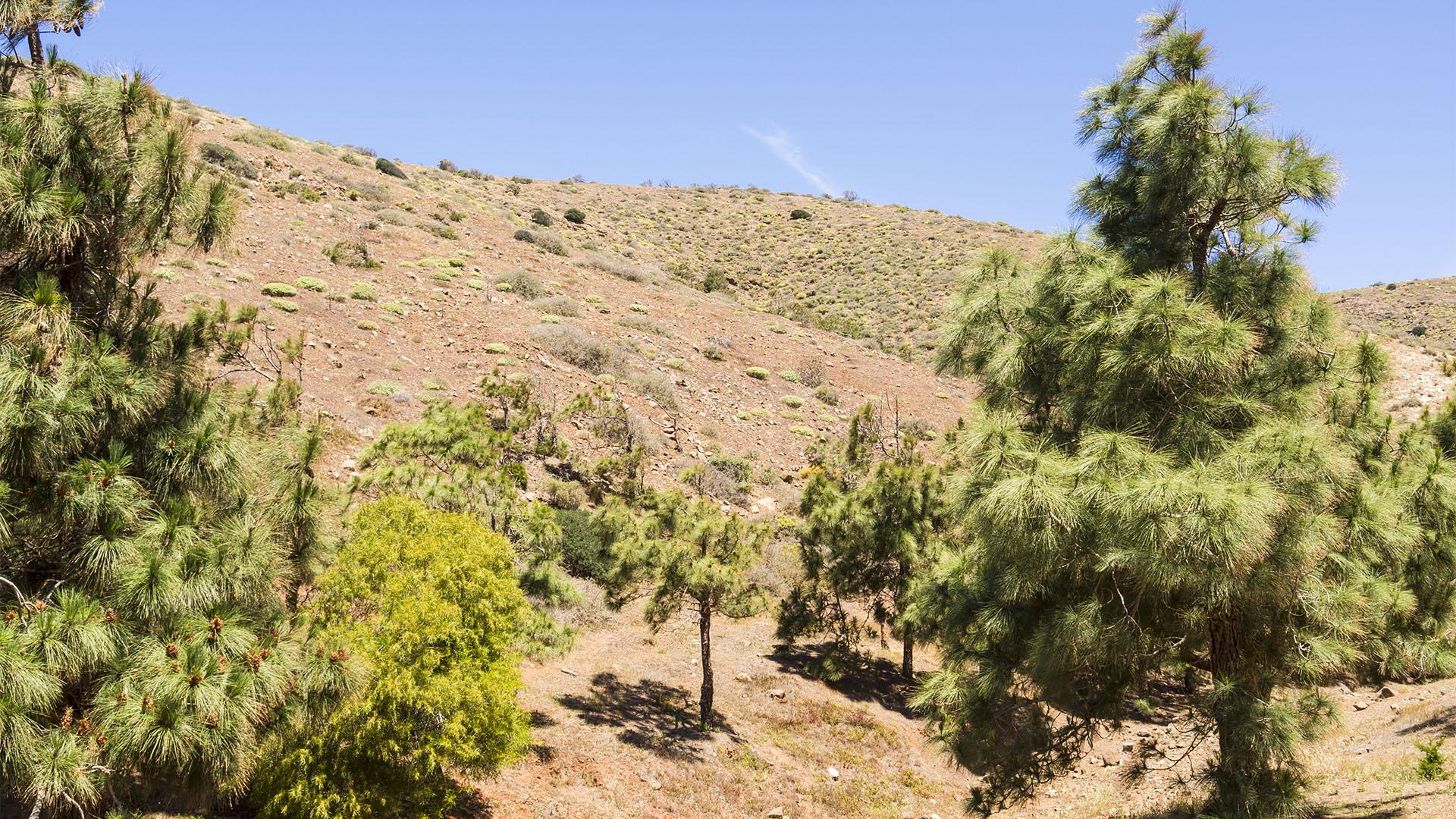 Zone Montano seco –kanarische Kiefer.