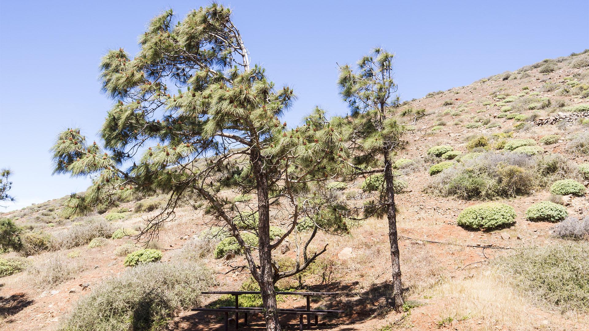 Zone Montaña seco –kanarische Kiefer.