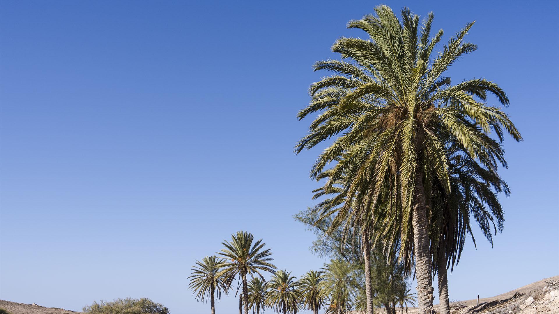 Basale Zone –kanarische Palme.