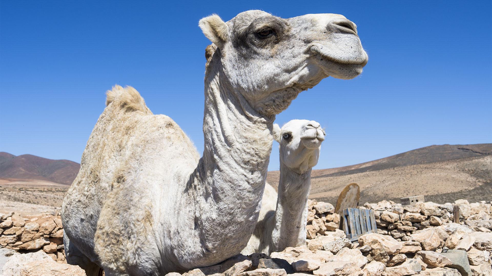 Fauna auf Fuerteventura –die Säugetiere der Insel.