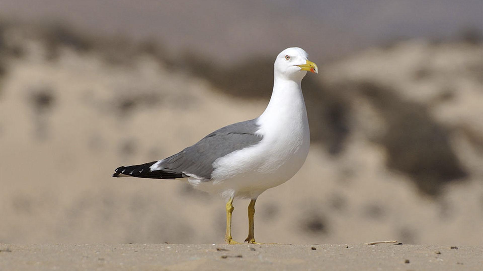 Vogelwelt von Fuerteventura –Atlantikmöwe – Larus michahellis atlantis.