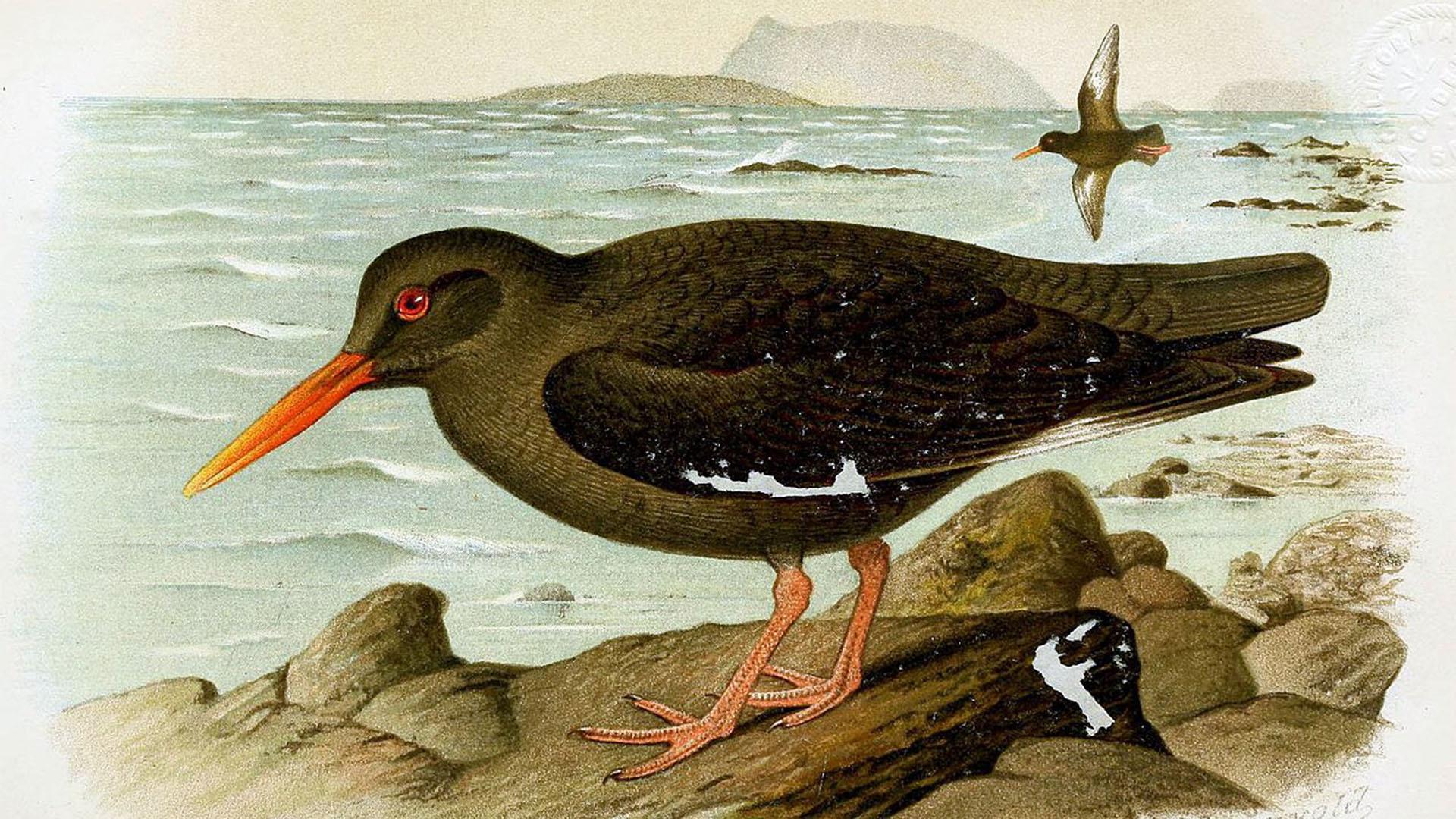 Vogelwelt von Fuerteventura –Kanaren-Austernfischer – Haematopus meadewaldoi.