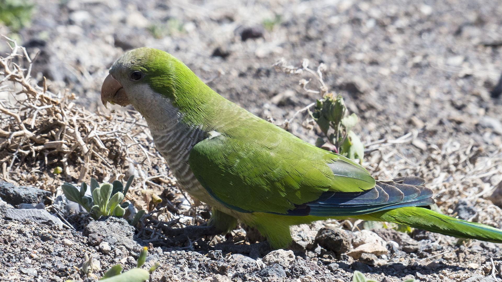Vogelwelt von Fuerteventura –Kanarienvogel – Serinus canaria forma domestica.