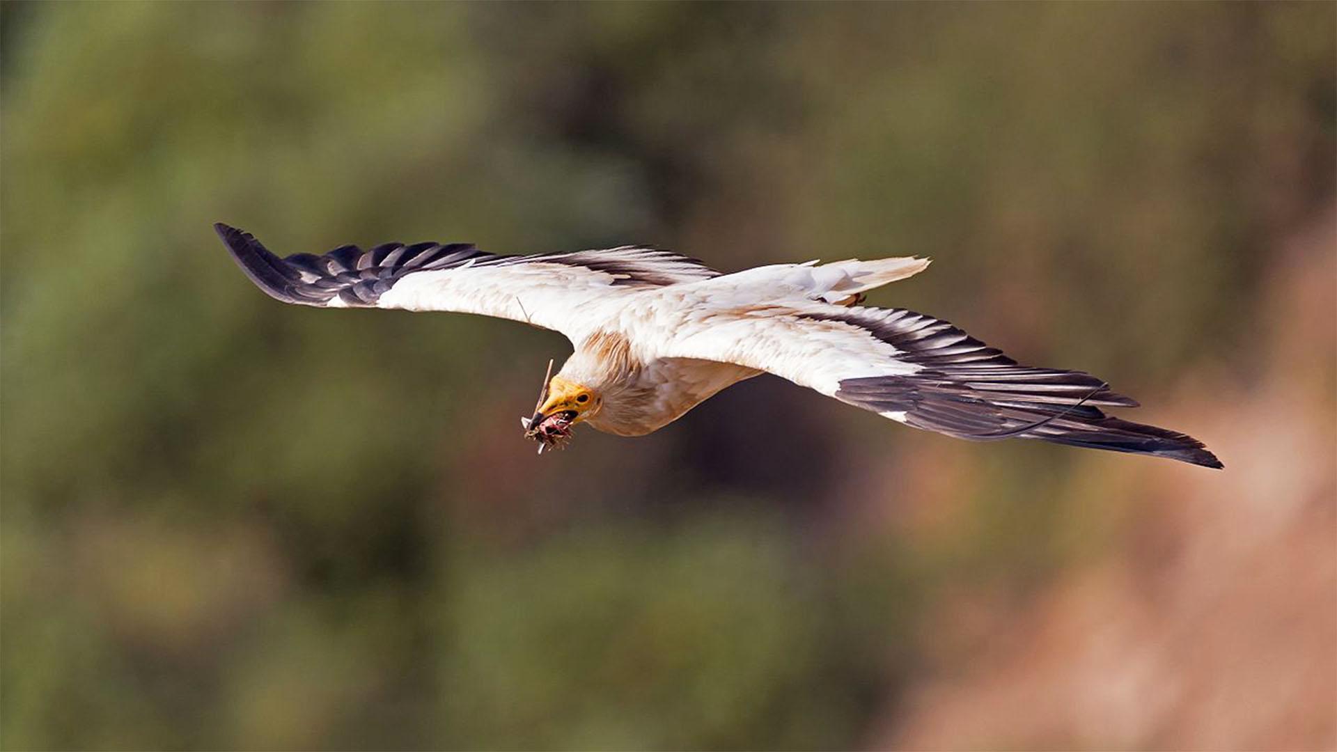 Vogelwelt von Fuerteventura –Kanarischer Schmutzgeier – Neophron percnopterus majorensis.
