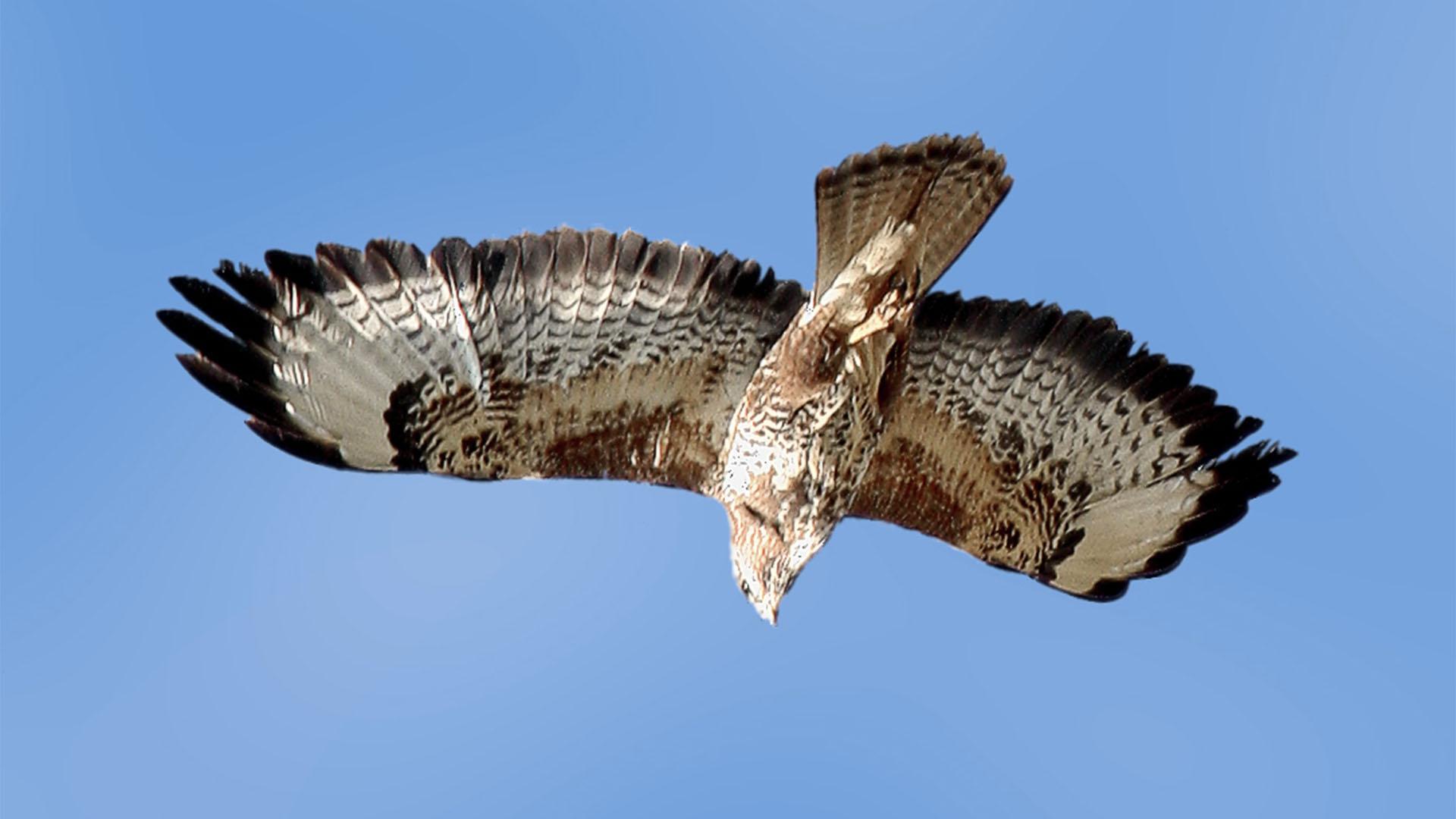 Vogelwelt von Fuerteventura –Mäusebussard – Buteo buteo.