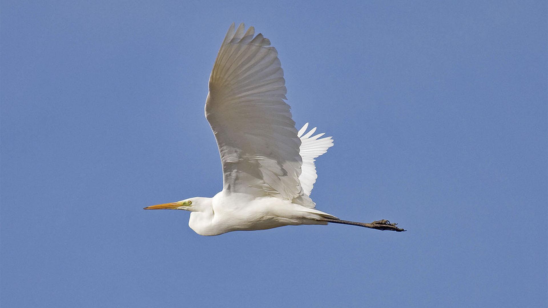 Vogelwelt von Fuerteventura –Silberreiher – Ardea alba.