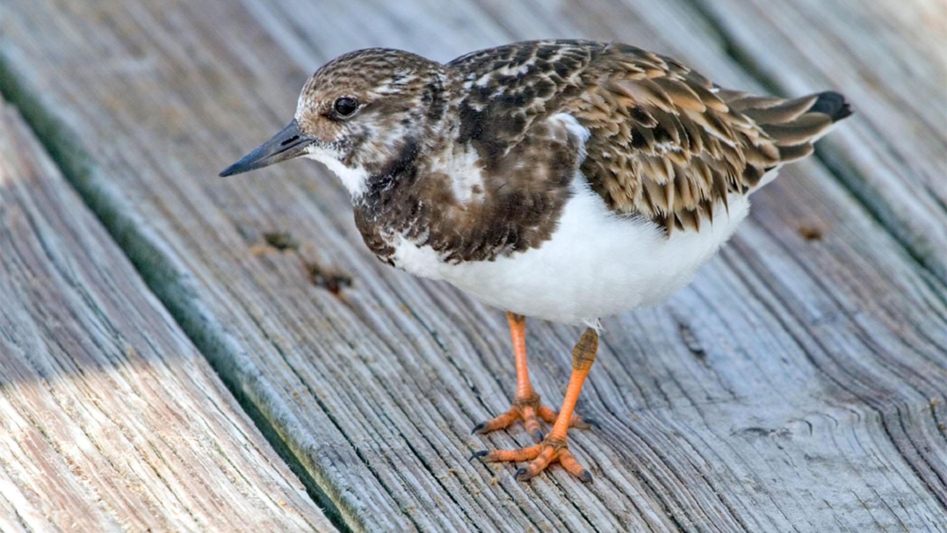 Vogelwelt von Fuerteventura –Steinwälzer – Arenaria interpres.