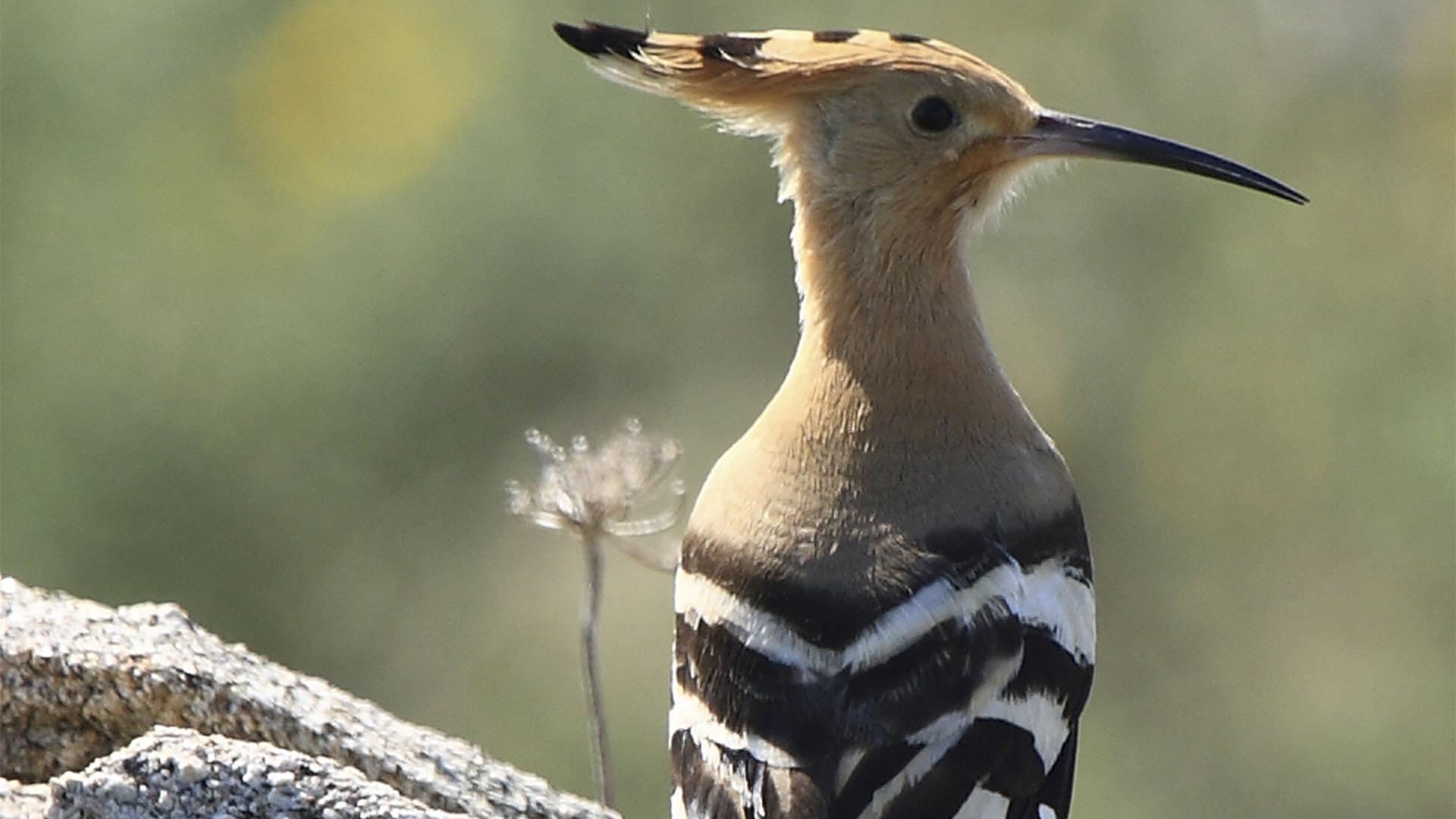 Die Fauna Fuerteventuras –Vögel und Zugvögel der Insel.