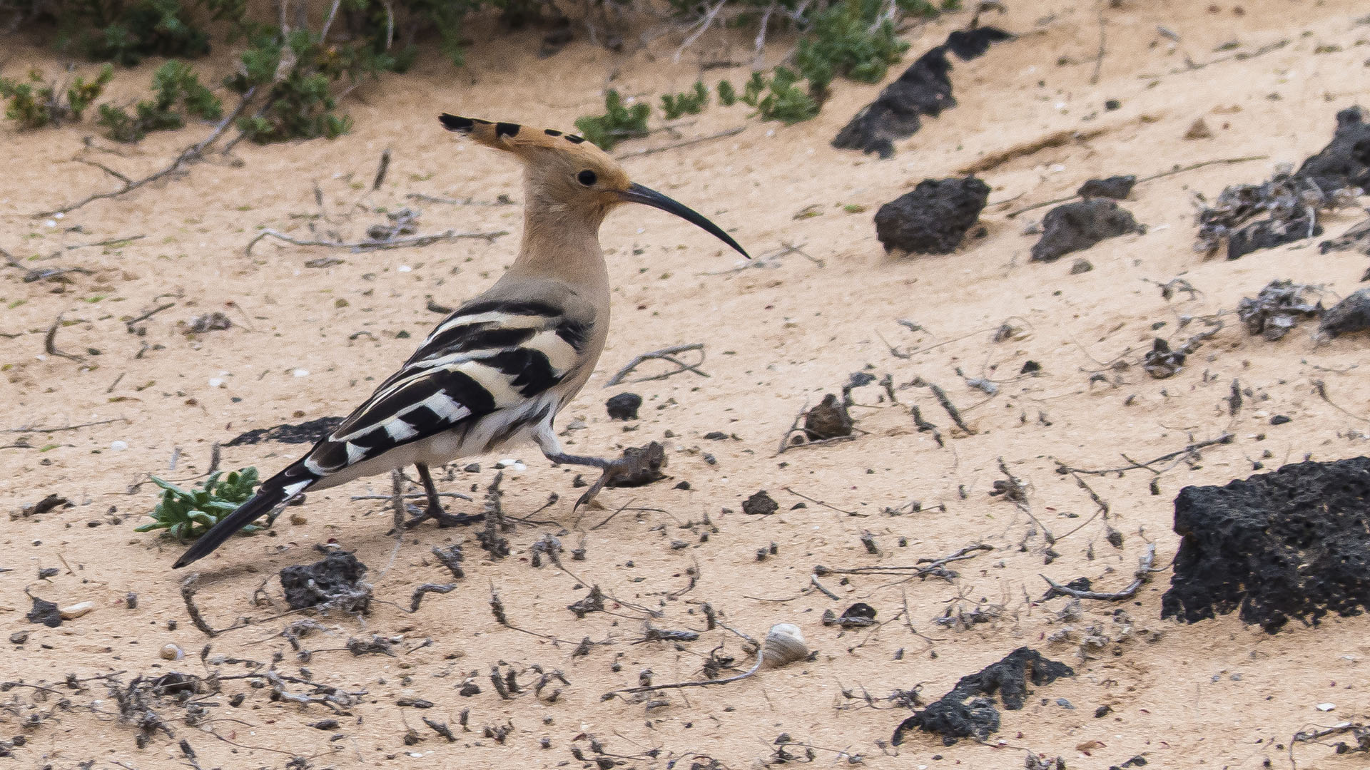 Vogelwelt von Fuerteventura –Wiedehopf – Upupa epops.