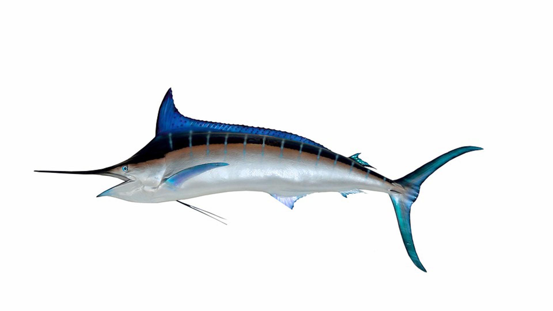 Meeresbewohner von Fuerteventura –Blauer Marlin – Makaira nigricans.