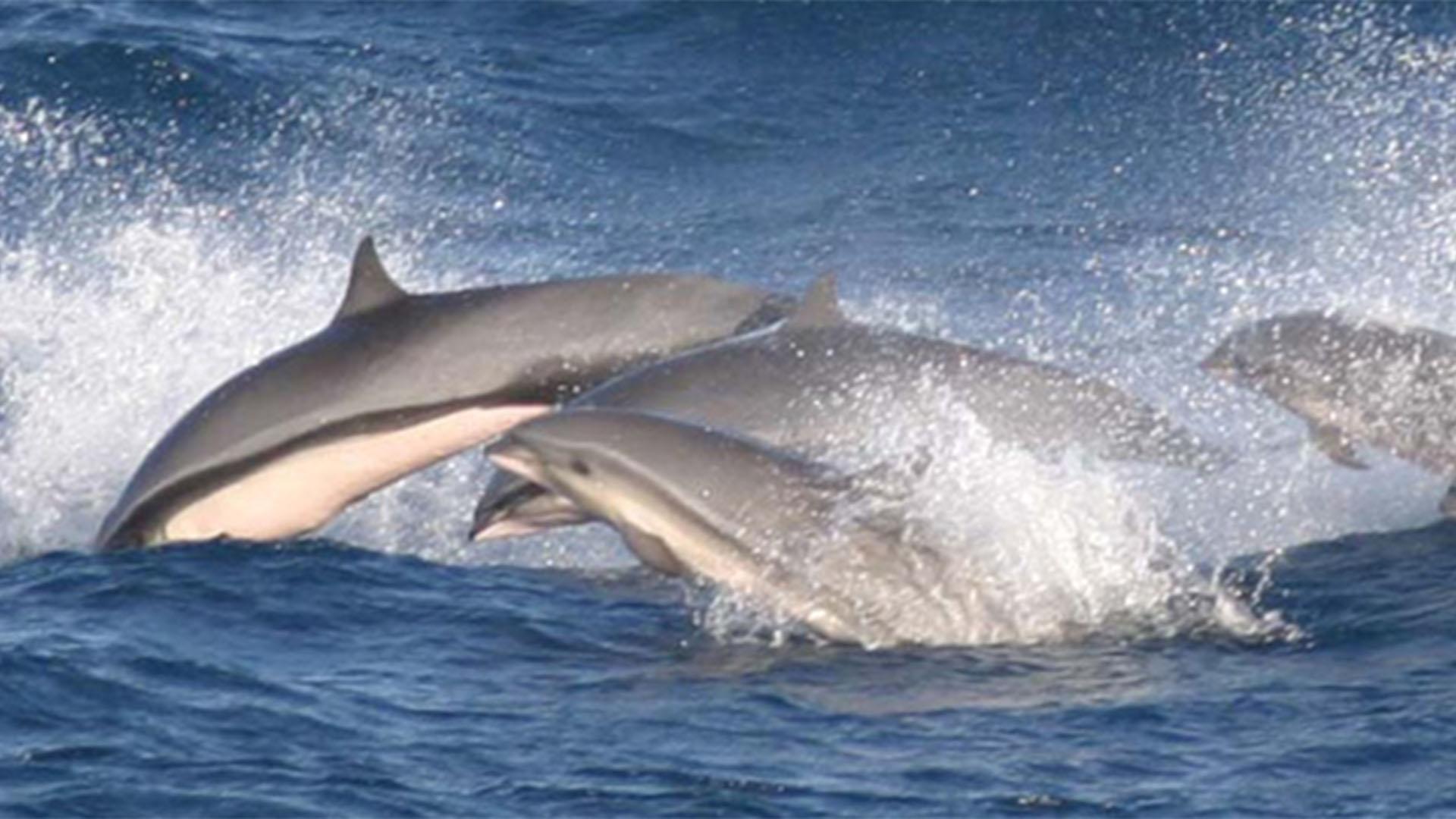 Fauna der Insel Fuerteventura –Meerestiere der Insel und des Kanaren Stromes.