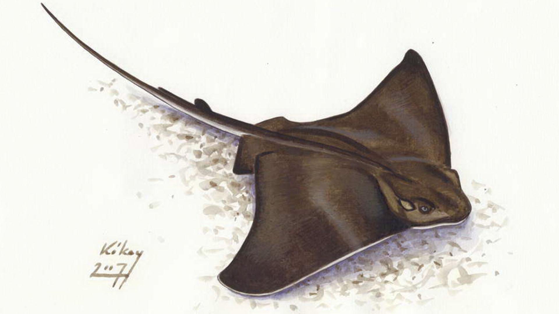 Meeresbewohner von Fuerteventura –Gewöhnliche Adlerrochen (Myliobatis aquila).