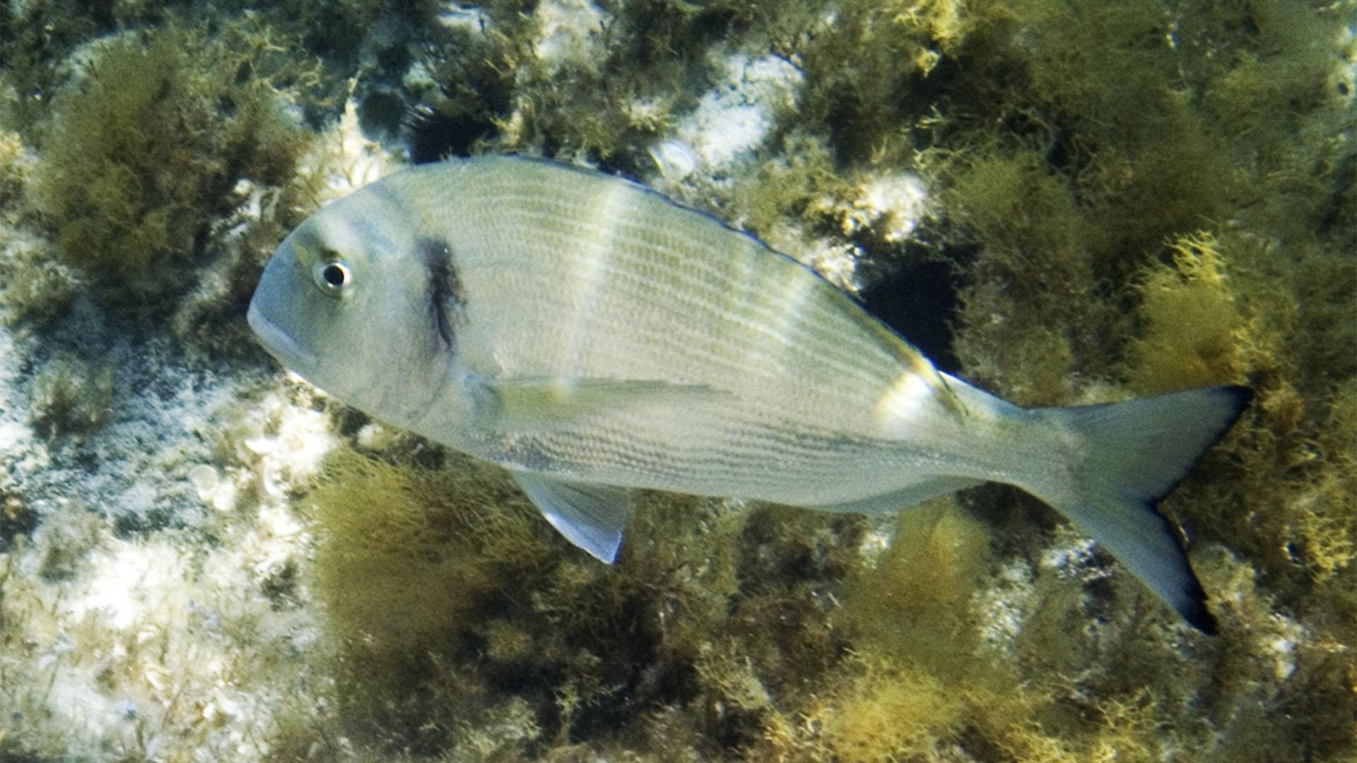 Meeresbewohner von Fuerteventura –Goldbrassen bzw. Dorada (Sparus aurata).