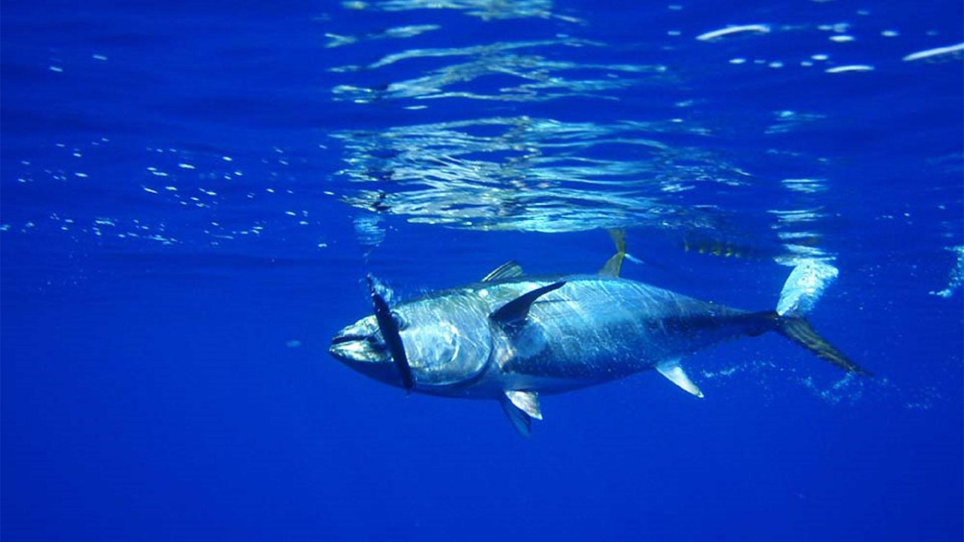 Meeresbewohner von Fuerteventura –Rote Thun (Thunnus thynnus).