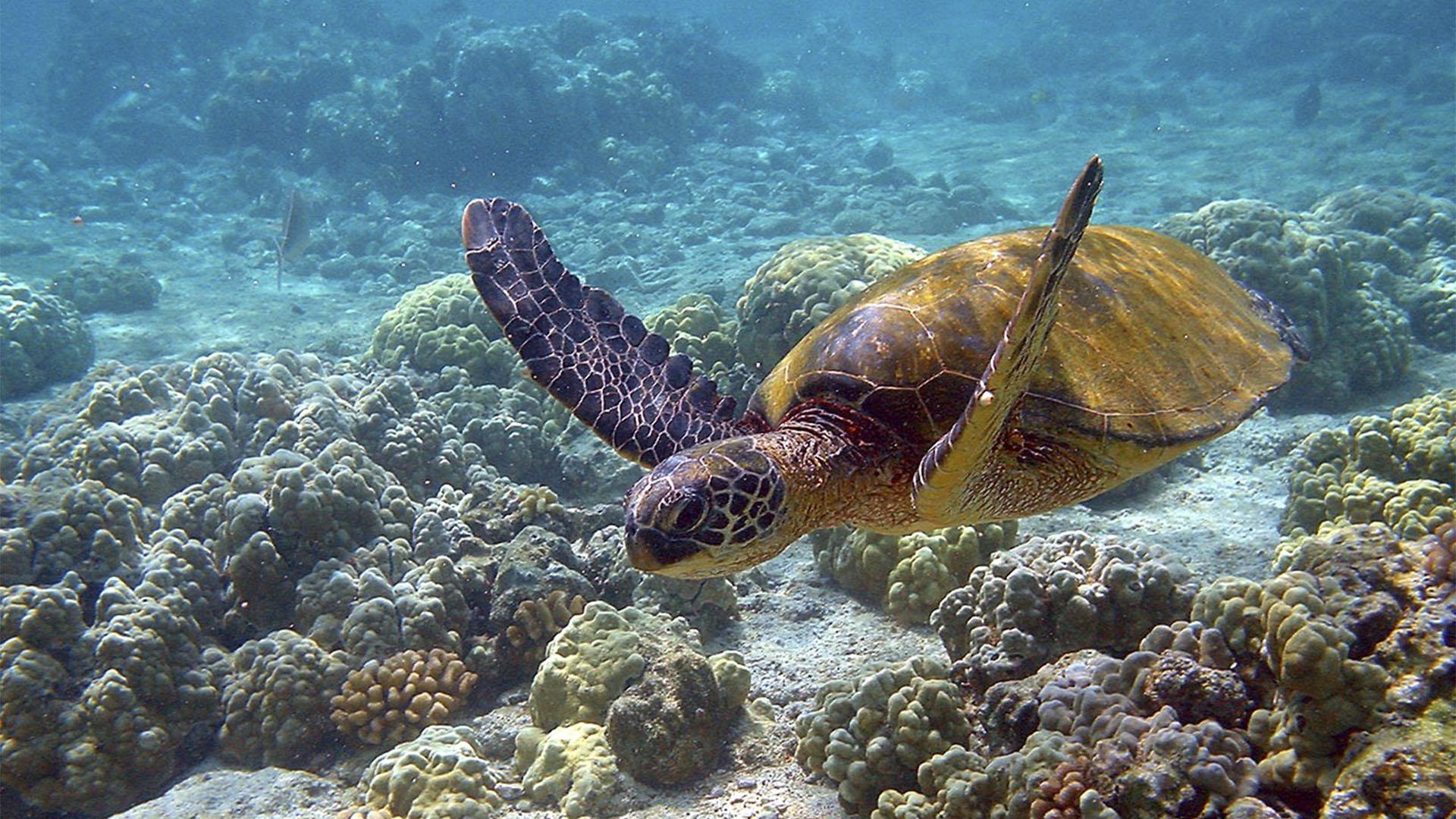 Meeresbewohner von Fuerteventura –Unechte Karettenschildkröte – Caretta caretta.