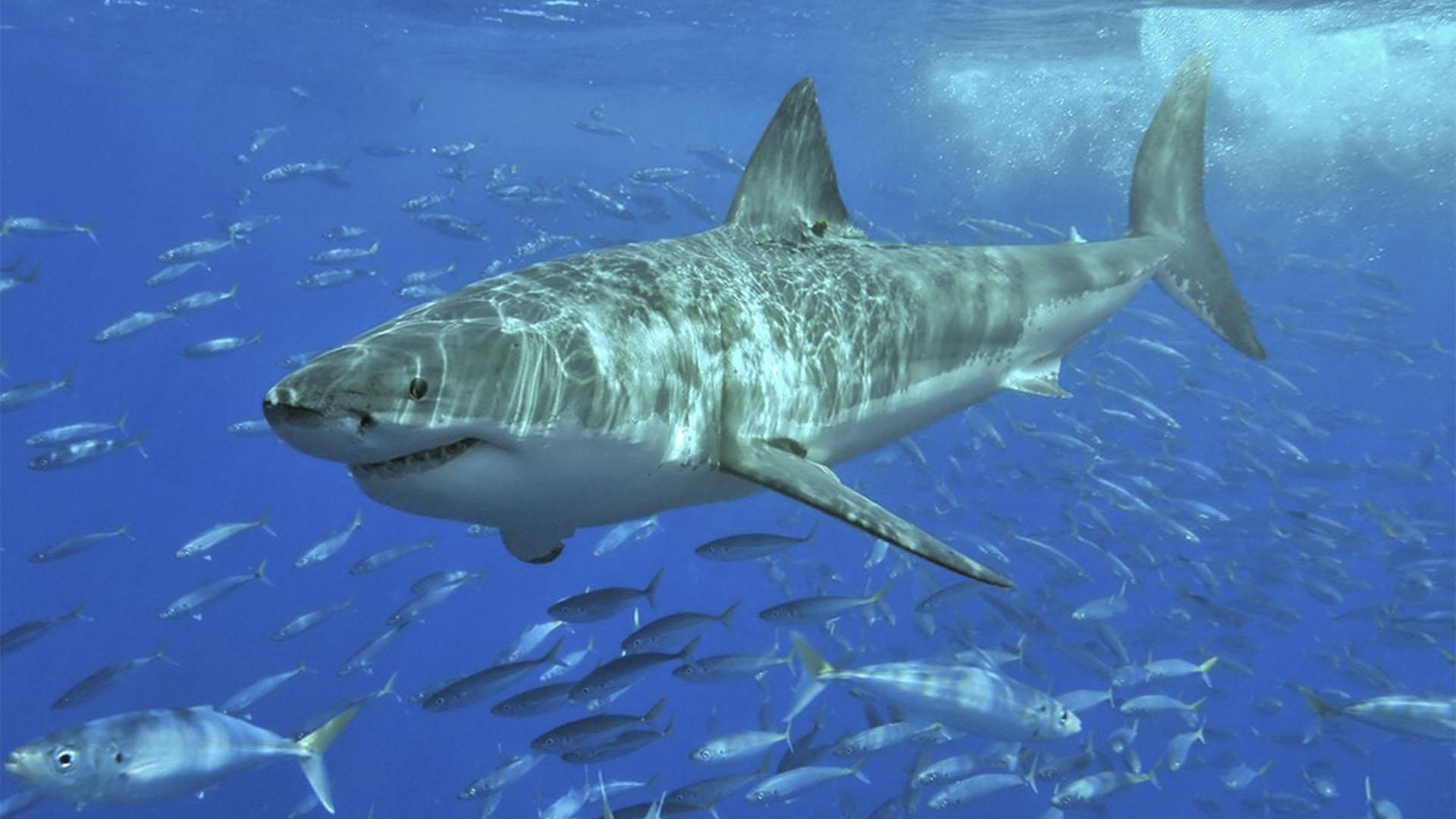 Meeresbewohner von Fuerteventura –Weiße Hai – Carcharodon carcharias – Makrelenhai –Marrajo.