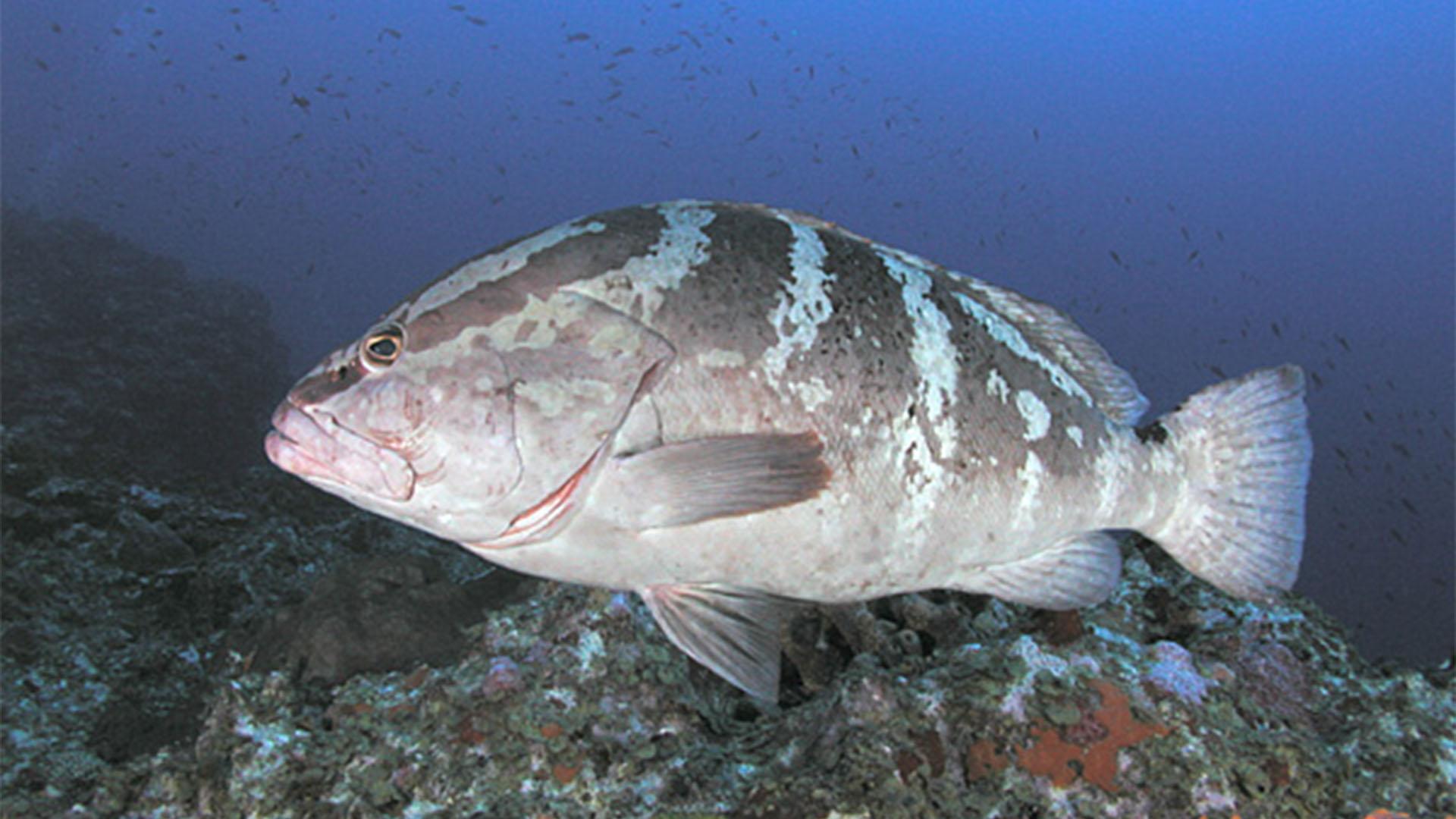 Fauna der Insel Fuerteventura –Meerestiere der Insel und des Kanaren Stromes: Zackenbarsche (Epinephelidae)