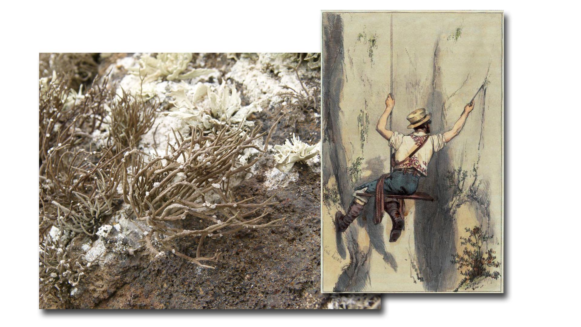Pflanzen und Schnecken für die Purpurgewinnung –ein Farbstoff einst wertvoller als Gold.