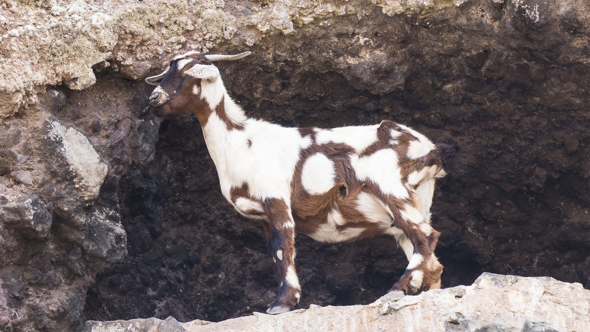 Cabras – Ziegen und Ziegenkäse seit der Besiedelung Fuerteventuras Rückgrat der Ernährung.