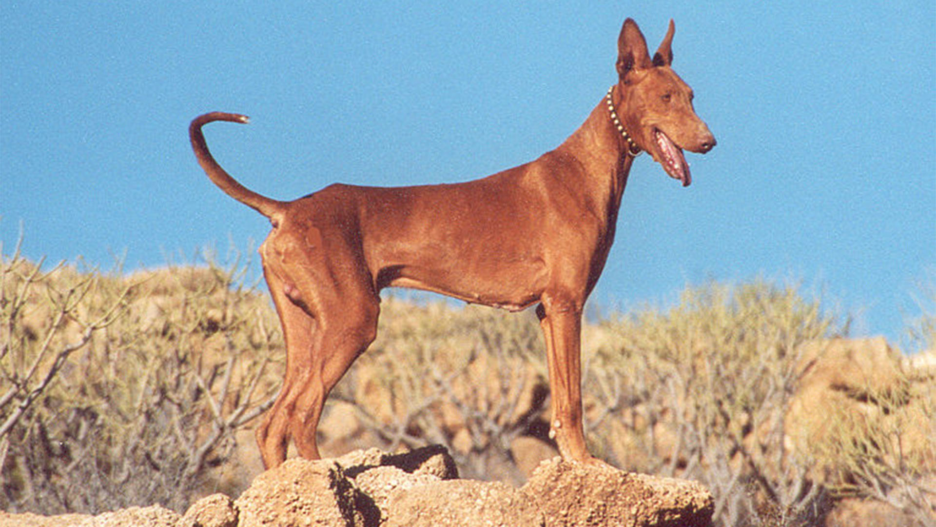 Der nordafrikanische Podenco canario –Jagdhund auf Kaninchen