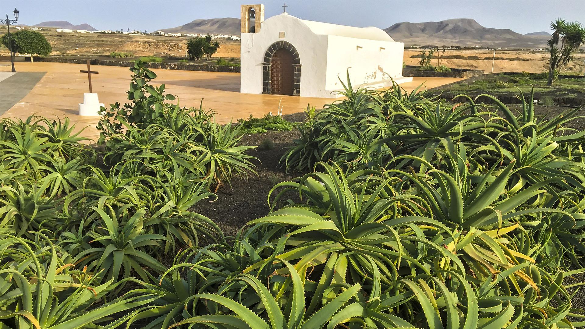 Aloe vera auf Fuerteventura.
