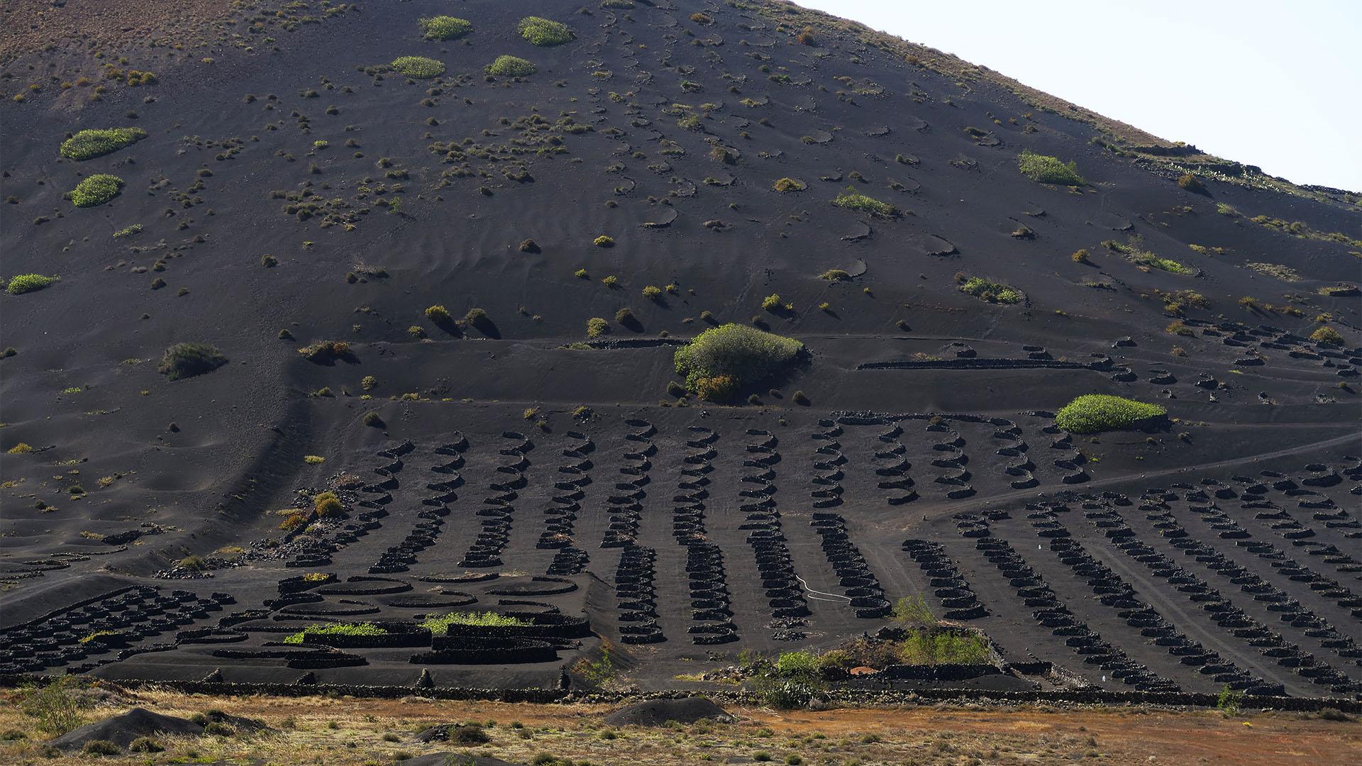 "Der Anbau der ""Vulkan Malvesía"" in den klassischen ""Hoyos""."
