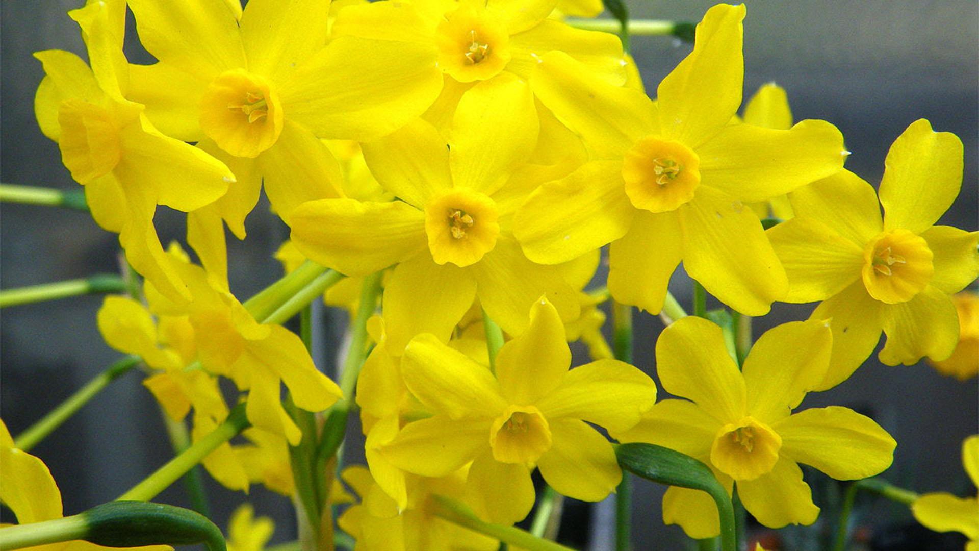 El junquillo, die Jonquille bzw. Narcissus jonquilla.