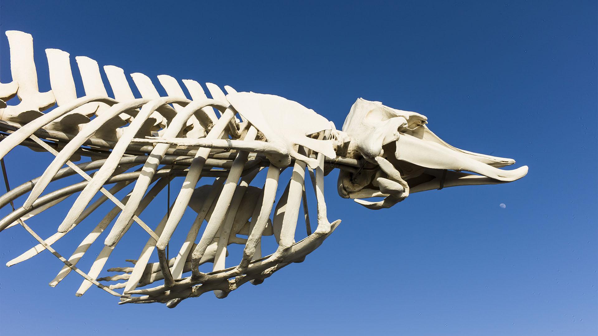 Wal Skelett El Cotillo Fuerteventura – www.sunnyfuerte.com
