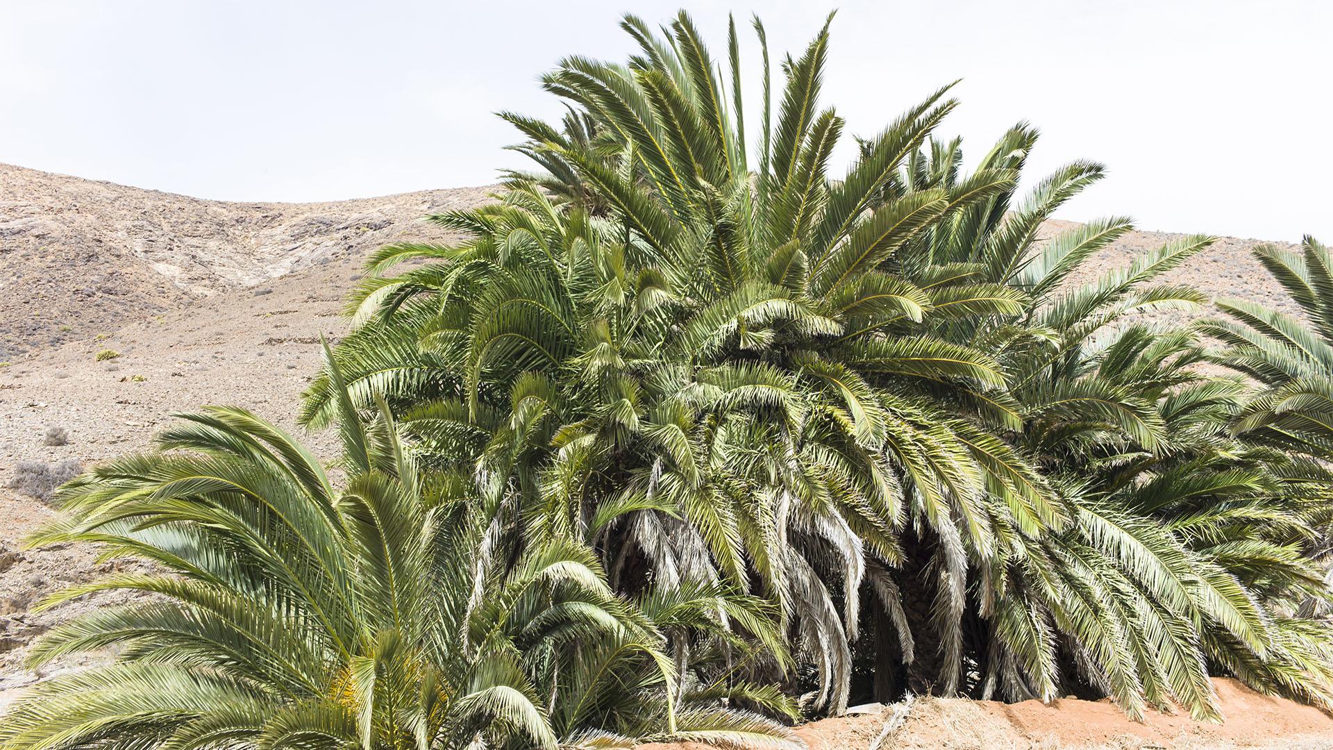 Sehenswürdigkeiten Fuerteventuras: Vega de Río Palmas – Palmental