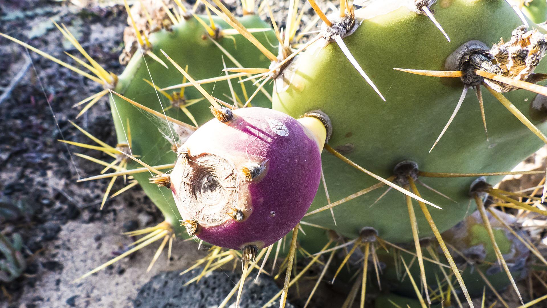 Der Ort Valle de Ortega Fuerteventura: Opuntien und deren Feigen in der Blüte.