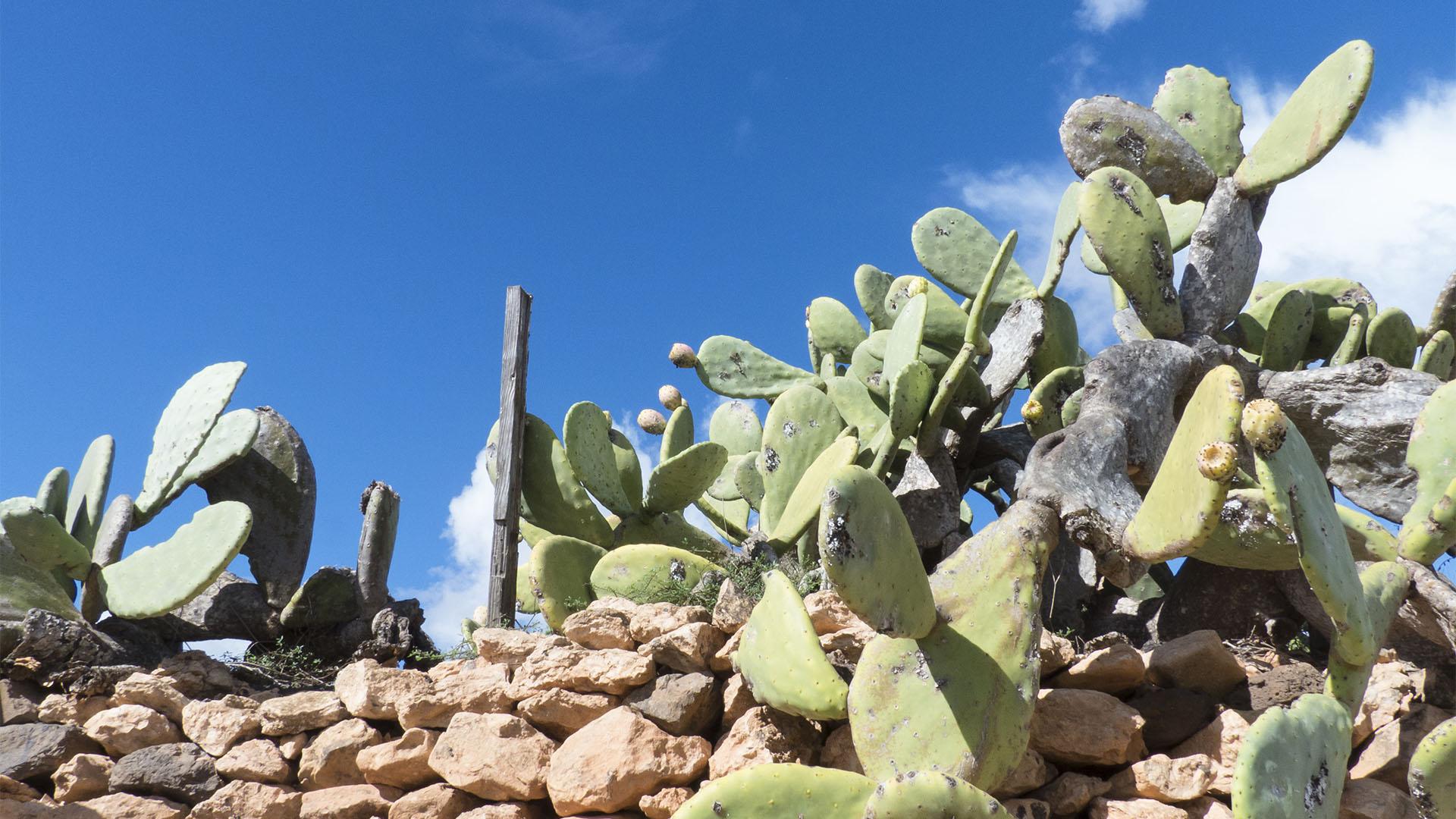 Der Ort Valles de Ortega Fuerteventura: Opuntien und deren Feigen in der Blüte.
