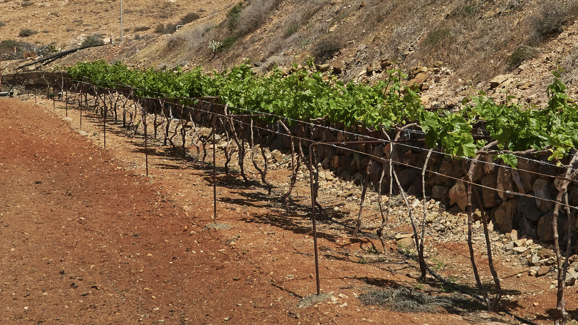 Weinanbau Fuerteventura – Valle de Santa Inés | Vega Vieja.