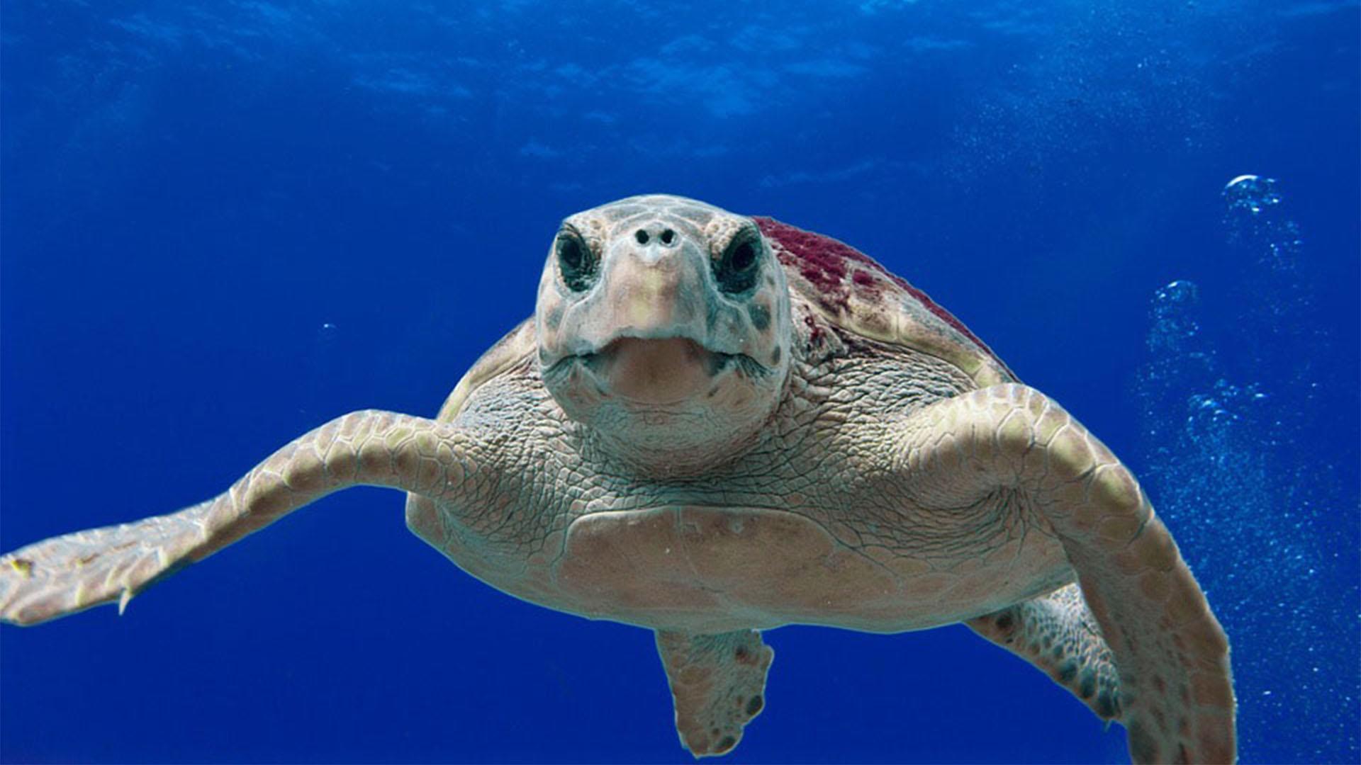 Die unechte Karrettschildkröte – einst heimisch an den Stränden von Cofete Fuerteventura.