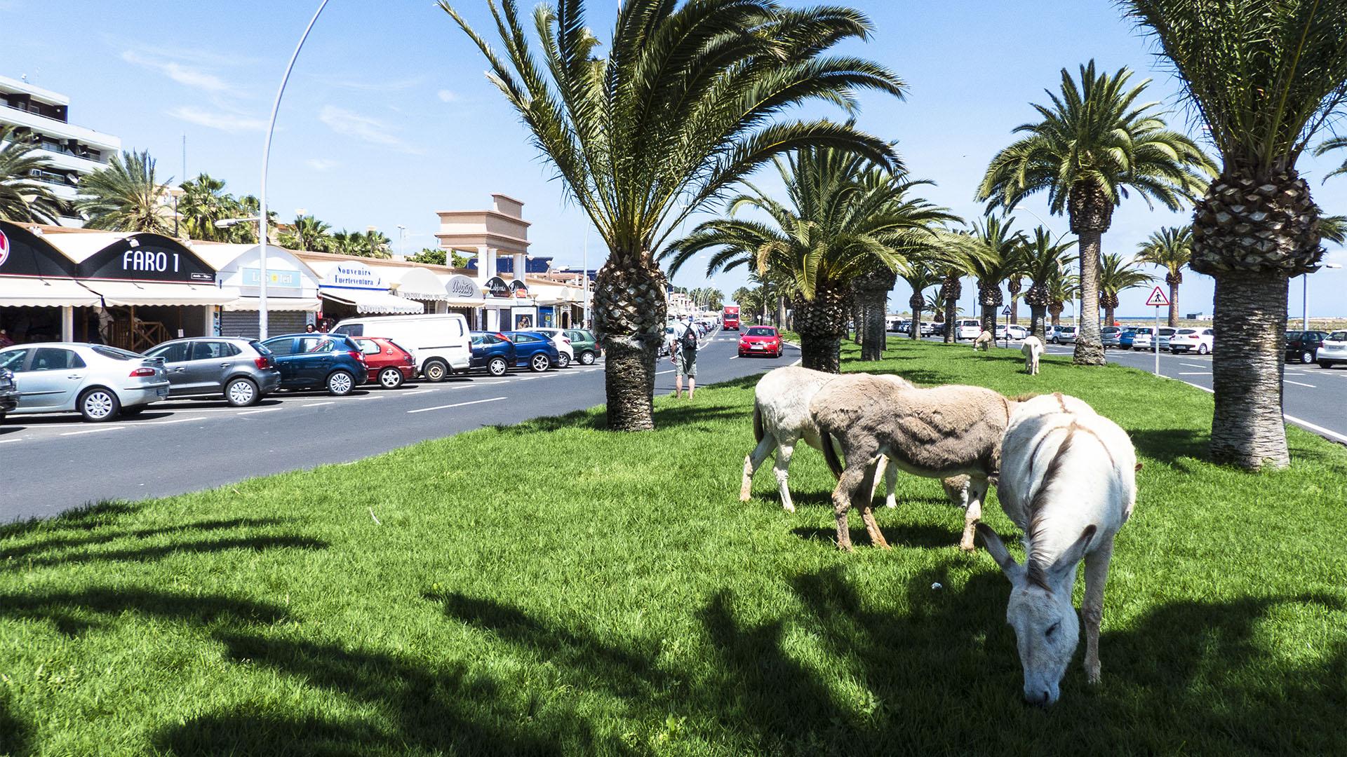 Fuerteventura Inselrundfahrt Südschleife – Paseo Morro Jable mit Bio Rasenmähern.