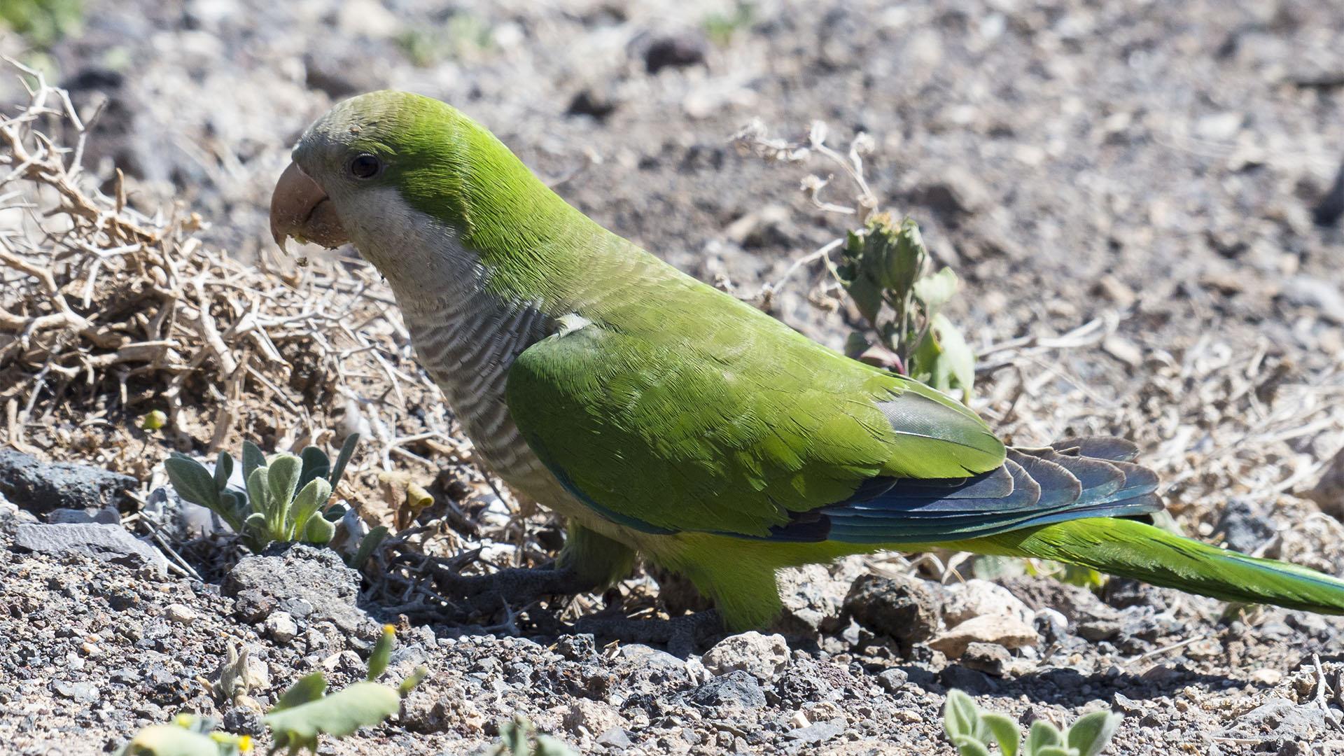 Fuerteventura Inselrundfahrt Südschleife – Faro de Jable und Salzwiesen mit Kanarien Vögeln.
