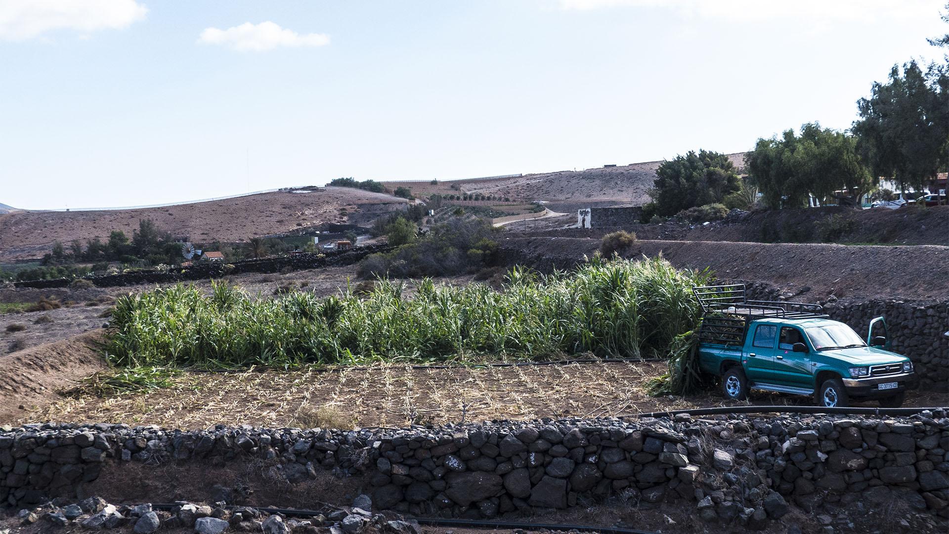 Fuerteventura Inselrundfahrt Südschleife – El Cardón klassische Landwirtschaft mit Gavias.