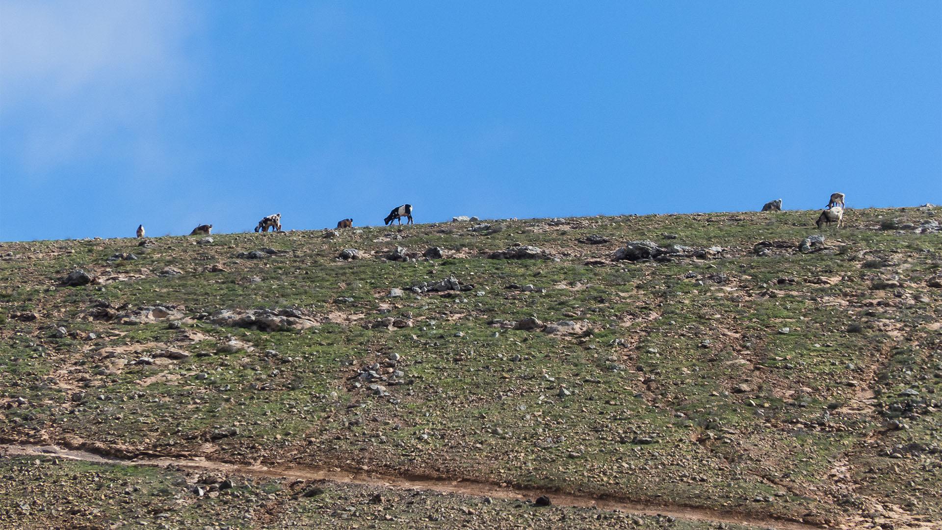 Wandern + Trekking auf Fuerteventura: Durch das Valle de Tetir nach Tefía.
