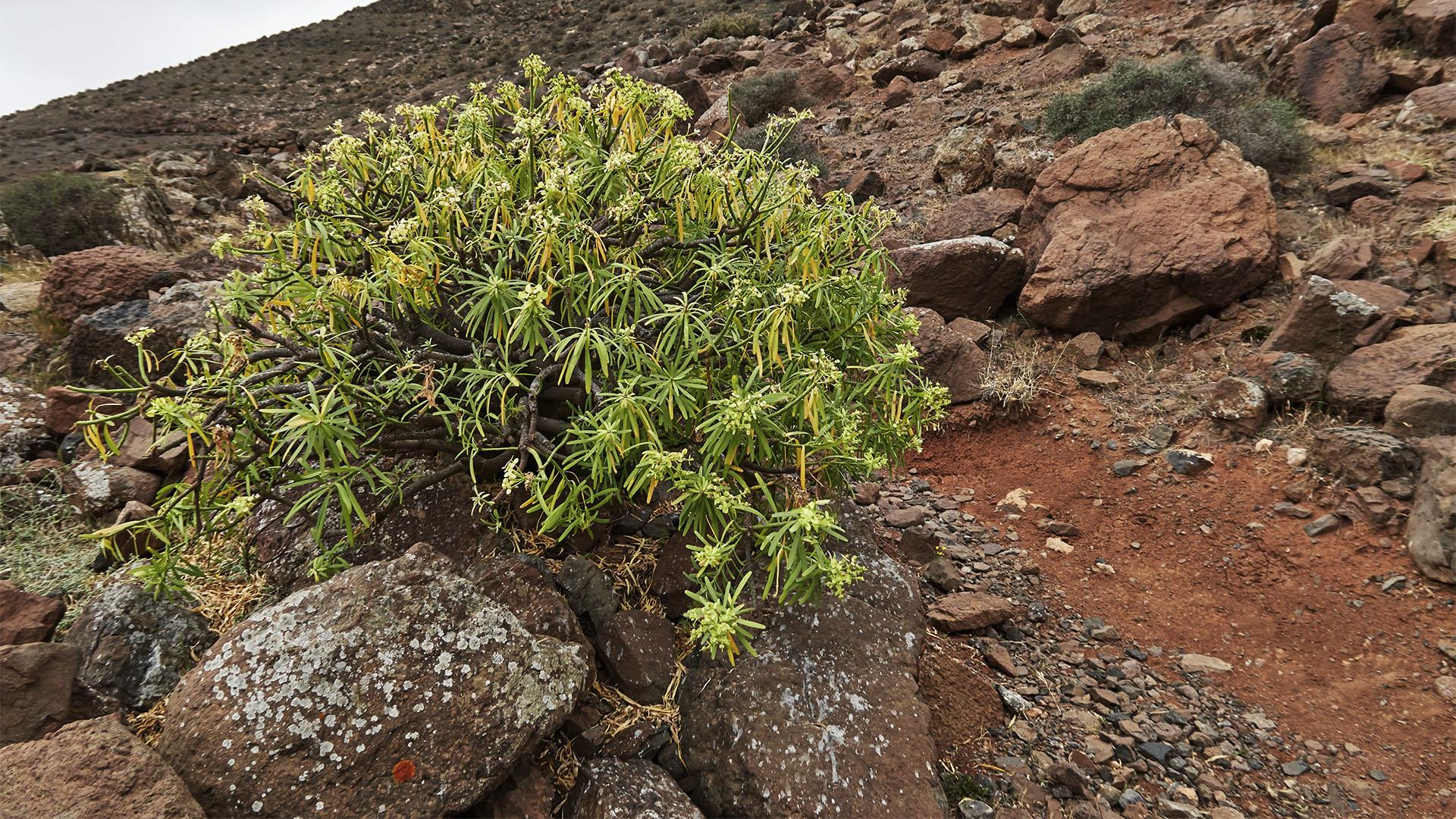 Die Balsam Wolfsmilch (Euphorbia balsamifera) wächst entlang des Wanderweges.