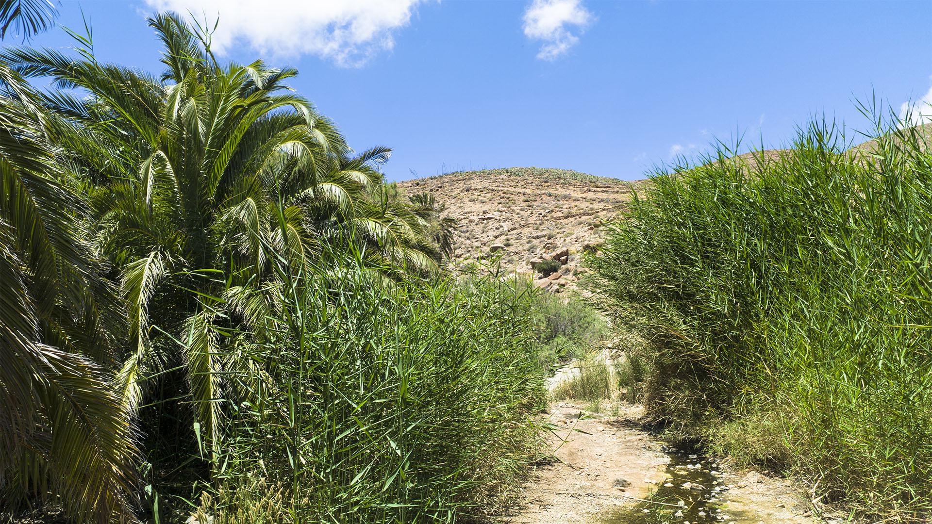 Wandern + Trekking auf Fuerteventura: Durchs Palmental von Vega Río Palmas nach Ajuy.
