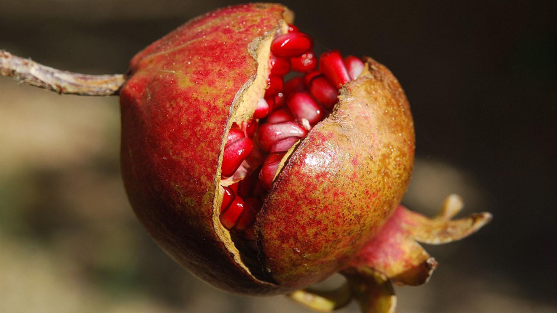 Der Granatapfel –einst fixer Bestandteil der Obstgärten auf Fuerteventura.